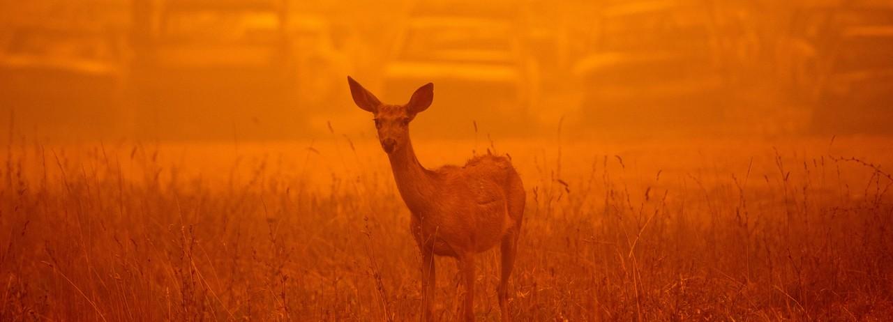 A deer wanders amid smoke of California fire